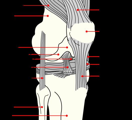 527px-Knee_diagram.svg
