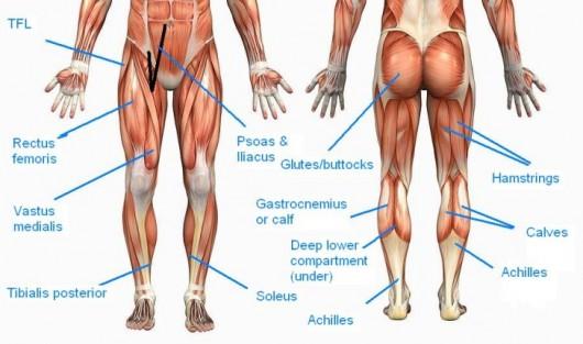 Legs-muscles