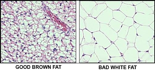 Brown vs white fat